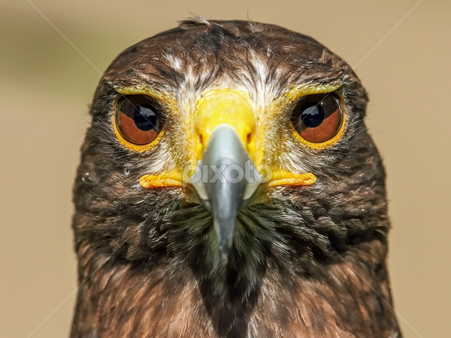 Harris Hawk by Mark Hughes - Animals Birds ( wildlife., bird, nature, harris, raptor, prey, hawk )