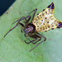 Arrow-headed spider