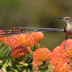 I'm cute by Charlene Bacchioni - Animals Birds ( bird, orange, protea, long tail, cape town )