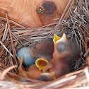 Eastern Bluebird Hatchings