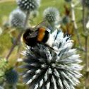 globe thistle with large earth bumblebee - Kugeldistel mit Dunkler Erdhummel