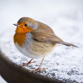 Little Robin  by Vaidotas Maneikis - Animals Birds ( bird, robin, animals, winter, birdie, posing,  )