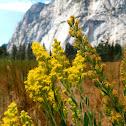 California goldenrod