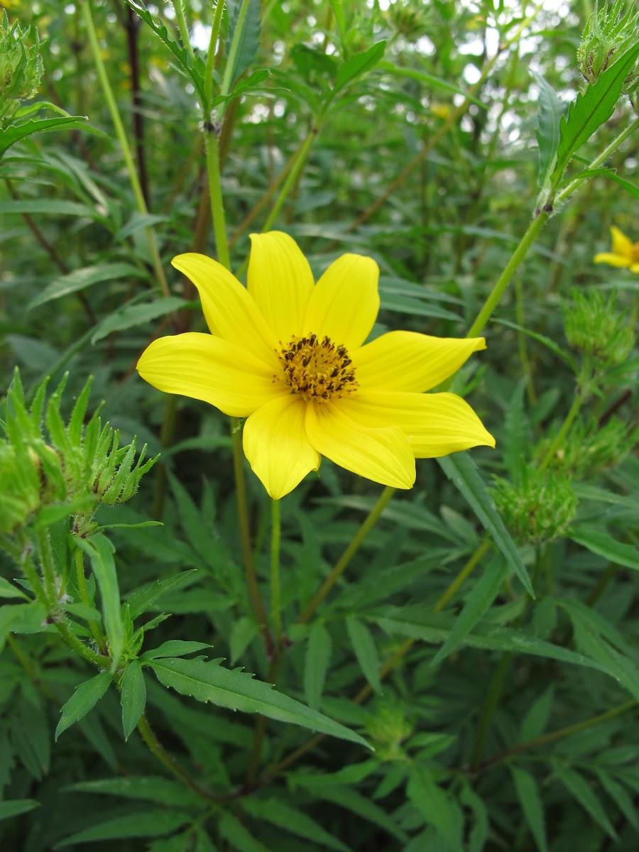 Showy Tickseed Sunflower