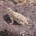 Horned lizard, horned toad, or horned frog.