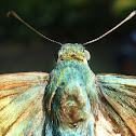 Mariposa lomo azul de cola larga