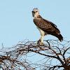Martial Eagle (Immature)