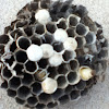 Wasp nest (possibly hornet)