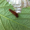 Knotgrass Moth