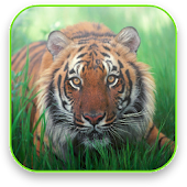 Tiger Free Video Wallpaper