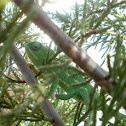 Common Chameleon - Juvenile