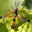 Yellow-ringed comb-horn Cranefly