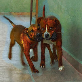 canelo and maisha by John Kolenberg - Animals - Dogs Playing ( dogs, action, running, rubber bone, mixed breeds, photo art )
