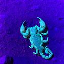 California Swollenstinger Scorpion