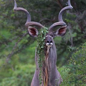 A real diva by Charlene Bacchioni - Animals Other ( horns, kudu, green, bush, leaves,  )