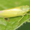 lime green leafhopper