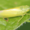 lime green leafhopper
