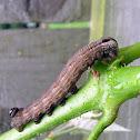 Abbott's Sphinx caterpillar