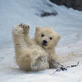 Bears cub Water