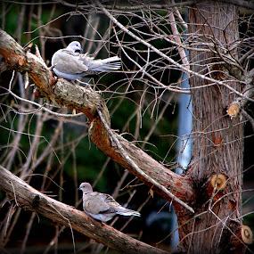 Love Birds by Sraddheshnu Basu - Animals Birds ( birds )