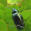 Green Dock leaf beetle
