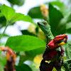 Basilisco esmeralda hembra