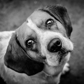 Wonder by Romeo Pogacean - Animals - Dogs Portraits ( b&w, slash, innocence, puppy, beagle, dog,  )