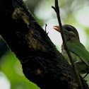 The White-cheeked Barbet