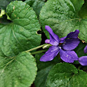 Common Violet Viola odorata