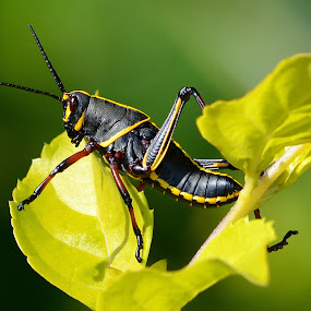 Eastern Lubber Grasshopper by Milton Moreno - Animals Insects & Spiders ( eastern lubber grasshopper, bugs, cricket, outdoors, bug, crickets, insects, insect, grass hopper insect bug cricket leaf, spring, springtime, grasshopper,  )