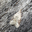 Currant Fruitworm Moth
