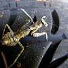 Florida bark mantis nymph