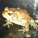 Rex the Toad