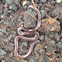 Hawaiian blind snake