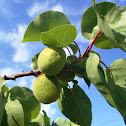 Apricot. Albaricoquero