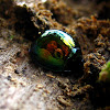 Bark Leaf Beetle