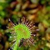 Common sundew