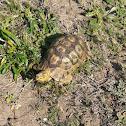 Bowsprit Tortoise