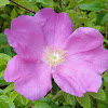 Beach rose -Rugosa rose