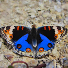 Blue pansy butterfly (male)