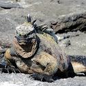 Marine iguana - Fernandina sub-species