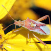 Scentless Plant Bug