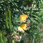 Sleepy Orange Butterflies (laying eggs)