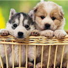 Cute Puppy Wallpapers HD icon