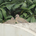 Laughing Dove Juvenile