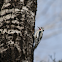 Hairy Woodpecker?