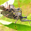 Wheel Bugs (Coupling)