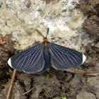 White-tipped Black - Snowbush Spanworm