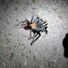 Arizona Blonde Tarantula-male
