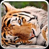 Tiger Live Video Wallpaper